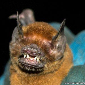 Пещерен прилеп (Pteronotus gymnonotus)